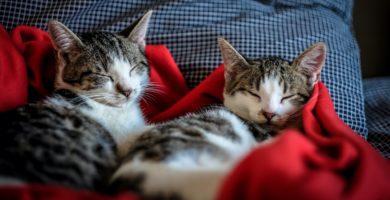 almohada gatos